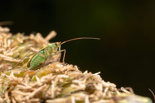 Plant bug in grass seed head