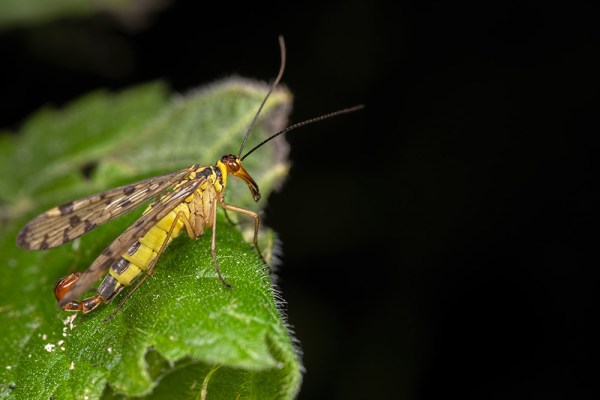 Male Scorpion Fly