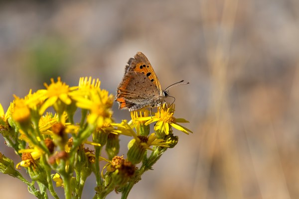 Small Copper Butterfly nectaring