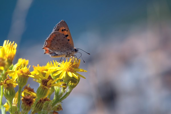 Small Copper Butterfly nectaring (2)