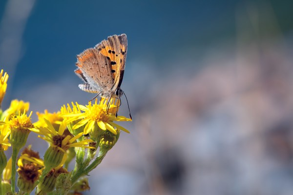 Small Copper Butterfly nectaring (3)