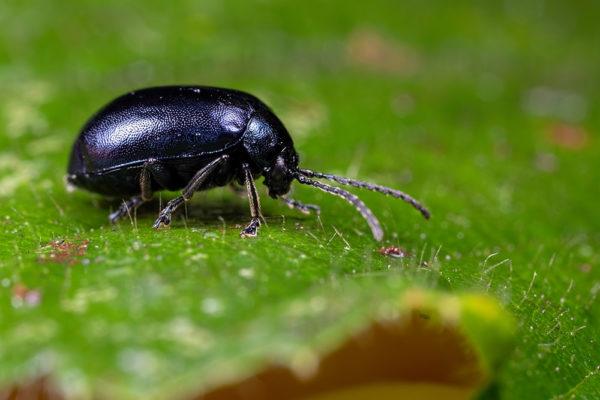 Agelastica alni (Alder leaf beetle)