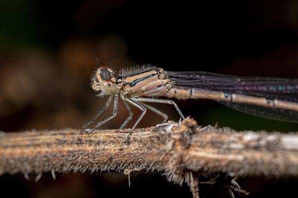 Female Common Blue Damselfly
