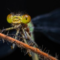 Final 2018 Damsefly portrait shots.