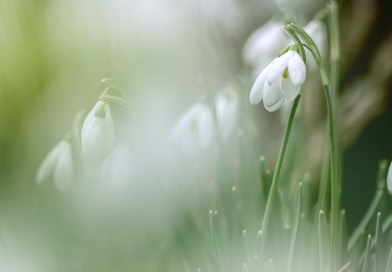 Snowdrops in the Forest
