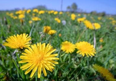 Dandelion View