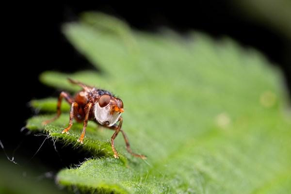 Myopa fly