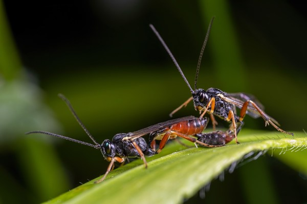 Mating Sawflies up Close
