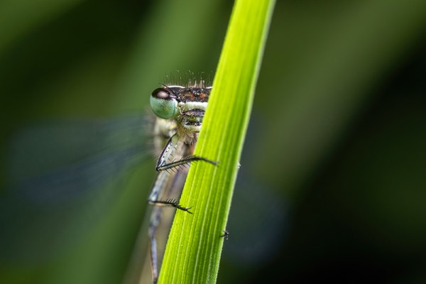 Damselfly looking around grass stem