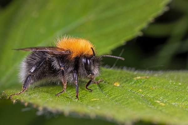 Bee restiing on nettle leaf