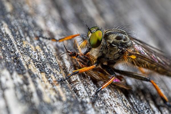 Robberfly feeding on fly