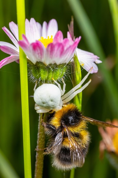 Bee being eaten by crab spider