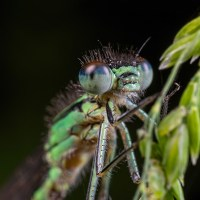 Damselfly Face Portraits