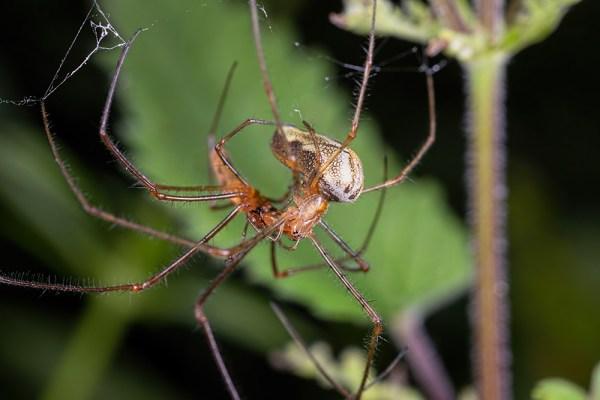 Spider Fight ?
