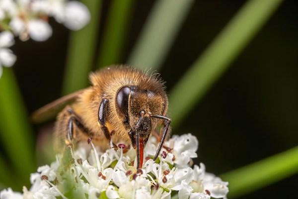 Bee Feeding on flowers