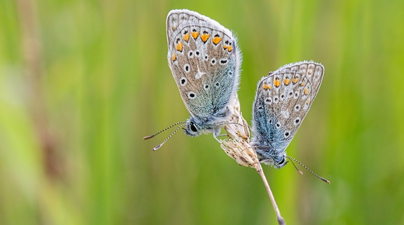 Pair of Common Blues