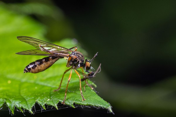 Small yellow-legged robberfly with prey