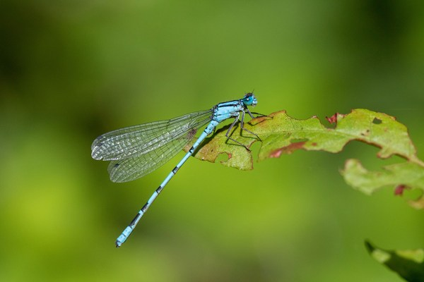 Common Blue Damsefly