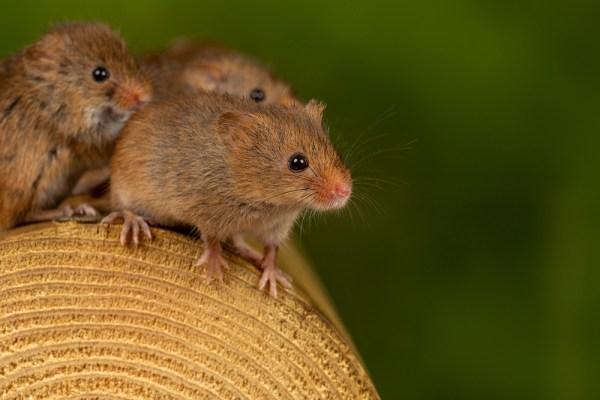 Harvest Mice on log