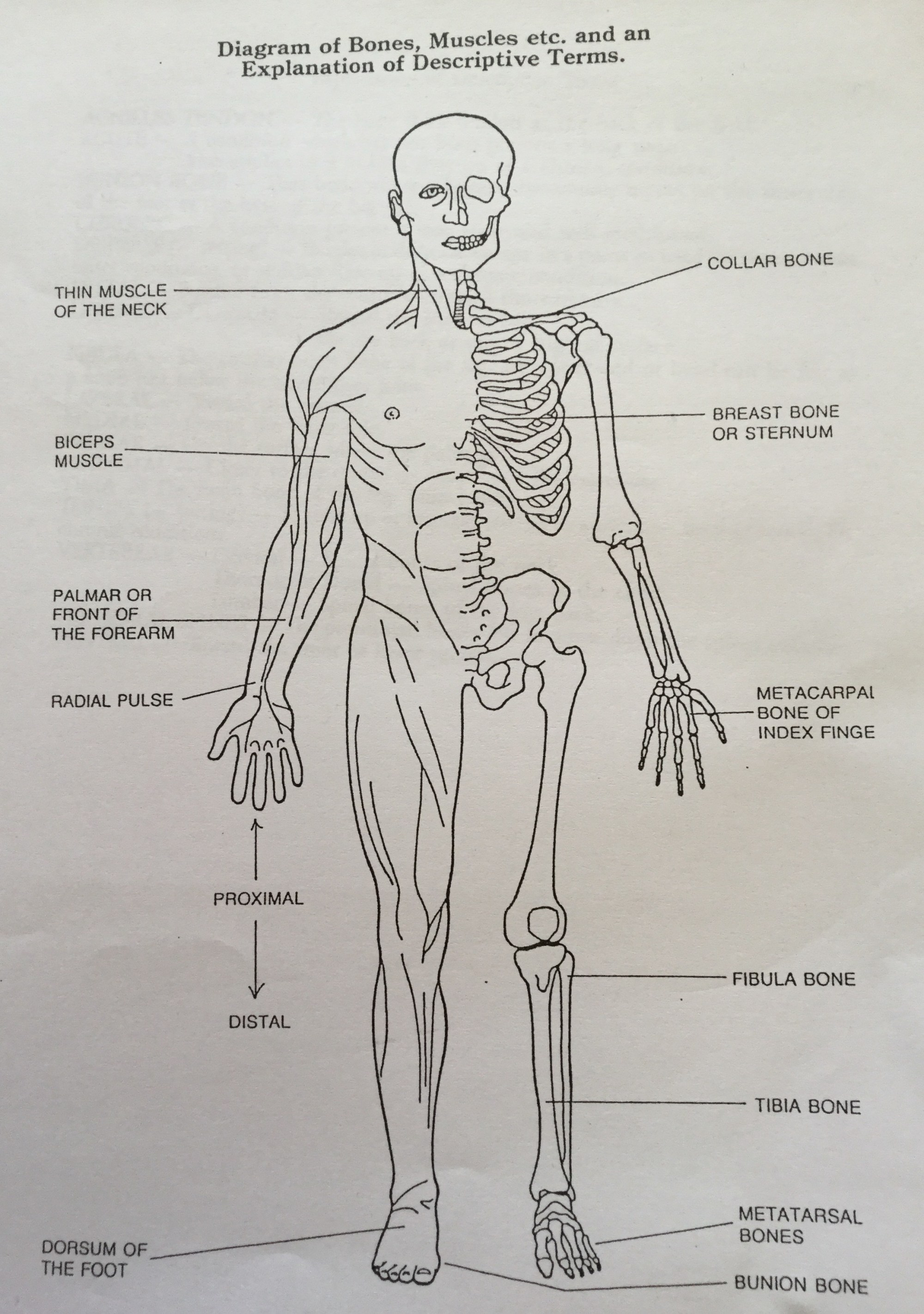 hight resolution of diagrams of bones and muscles names and discretions
