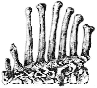 cervical vertebrae ape