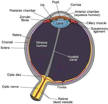 label eye diagram answers  human eye diagram - eye anatomy - online biology  dictionary