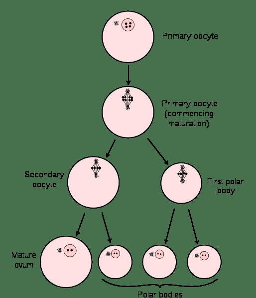 stages of meiosis diagram labeled genie garage door wiring telophase ii online biology dictionary