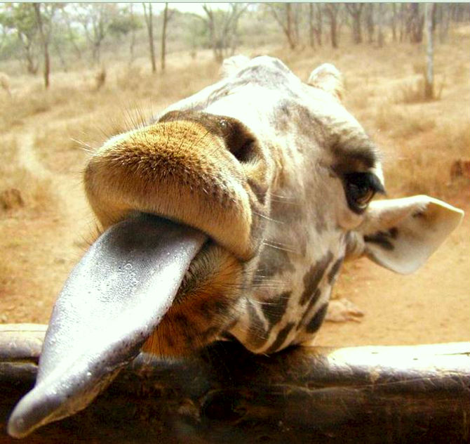 giraffe tongue picture