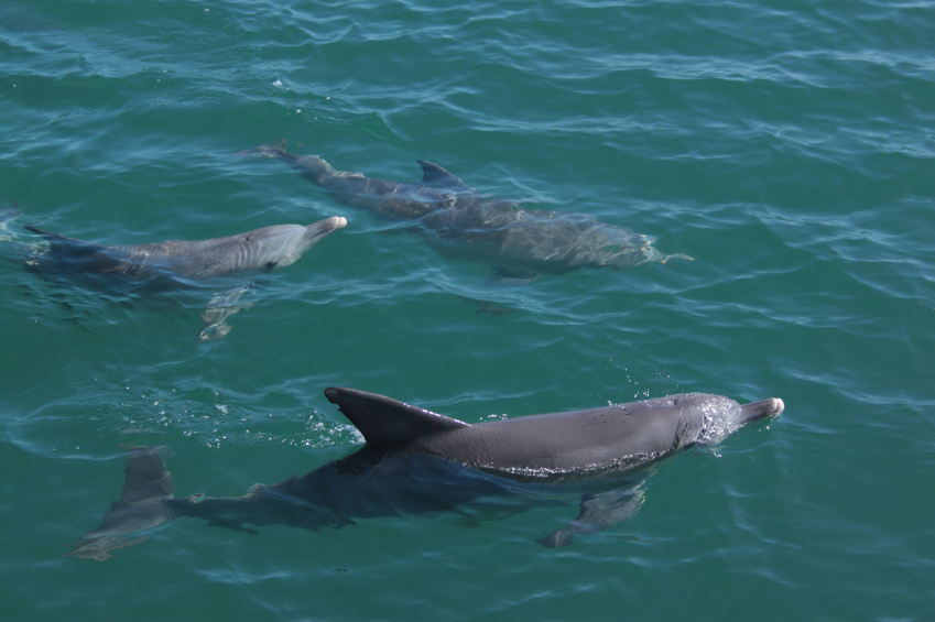 Bottlenose dolphins are a common sight off this part of the Welsh coast.
