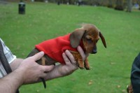 Dachshund Dog Clothing