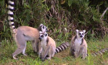 Biodiversité : Les Lémuriens menacés d'extinction