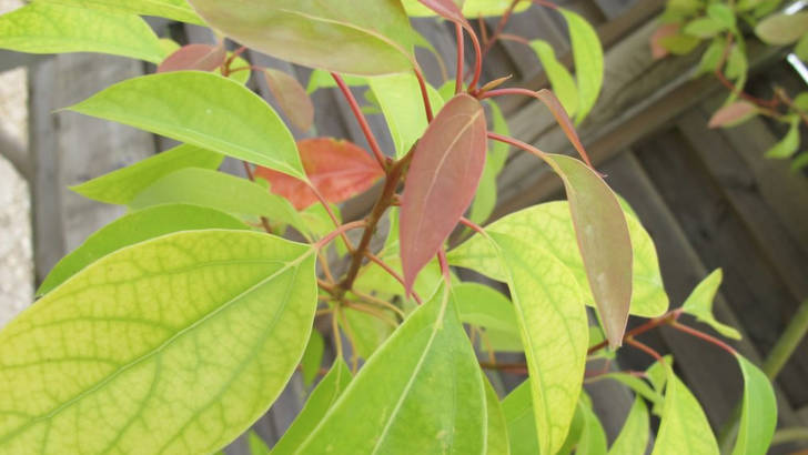 Ravintsara : la star des huiles essentielles antivirales
