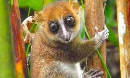 """Une nouvelle espèce de lémurien se nomme """"Tsiditsidy"""" vient d'être découverte à Madagascar"""