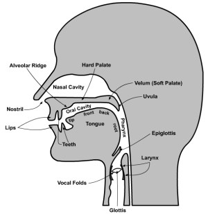 The Organs of Speech  French Language File