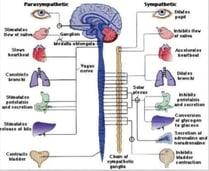 Parasympathetic and Sympathetic Nervous System