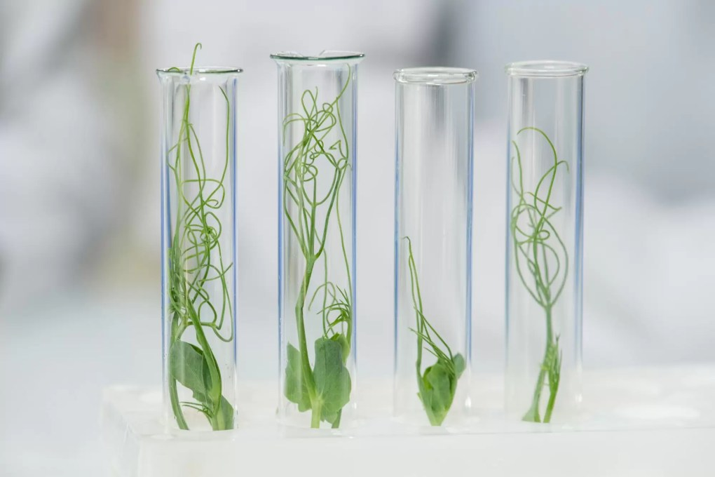 Row of four transparent flasks containing green lab-grown soy sprouts in lab