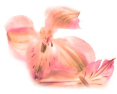 fleur-rose