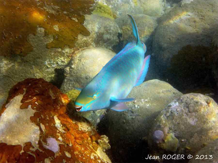 poisson-perroquet