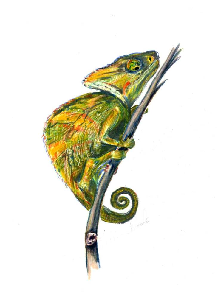 A chameleon drawing by Madison Woods