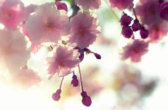cerisiers en fleurs carte postale du