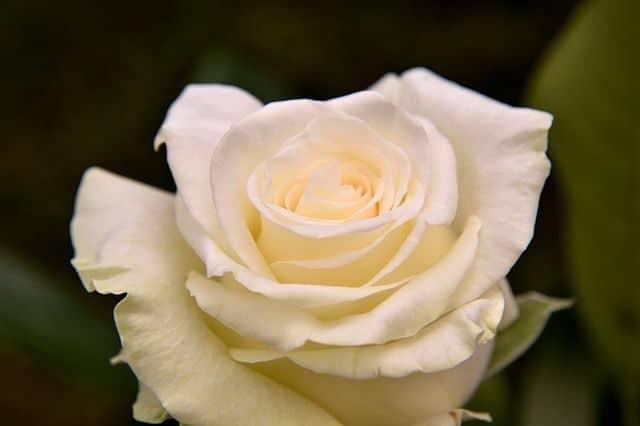 Rosa color champán