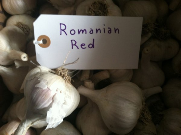 Romanian Red Garlic