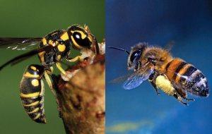 perbedaan-tawon-dan-lebah-beserta-manfaat