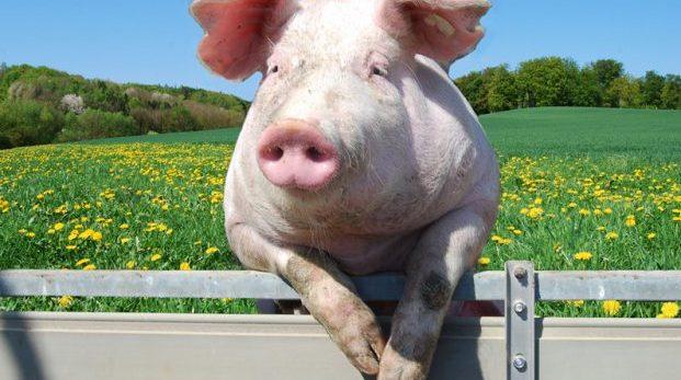 Alla är svin!