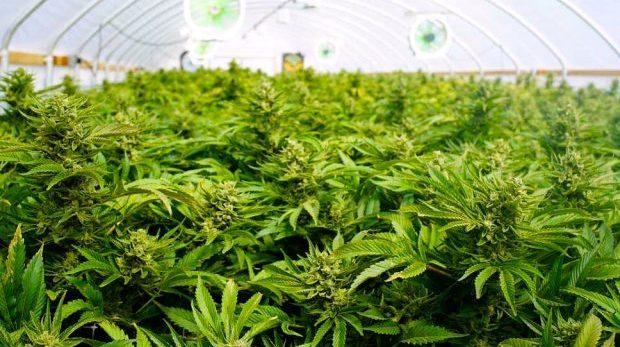 Legalisera cannabis så minskar skjutningarna