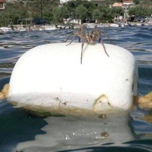 Мислам дека ќе ми пукне срцето - Огромен пајак ги преплаши капачите на Јадран