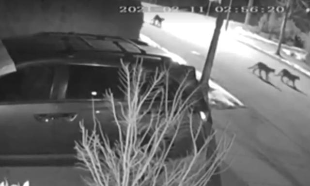 Puma cazado luego de que, junto a otro, siguieran a niño de 14 años en Port Coquitlam