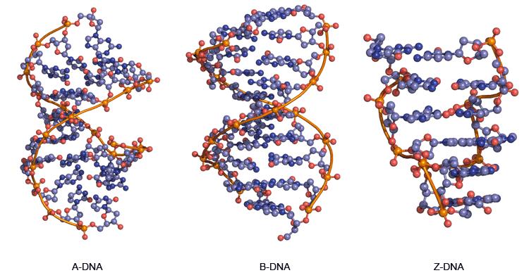 A-DNA-B-DNA-Z-DNA