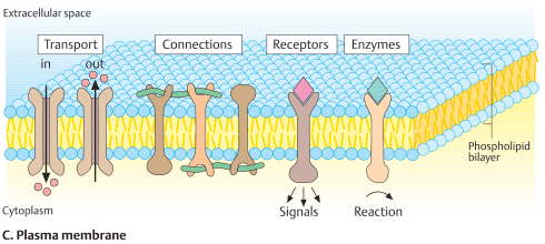 Plasma membrane of the cell