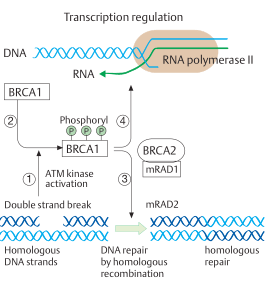 Double-strand repair by homologous recombination